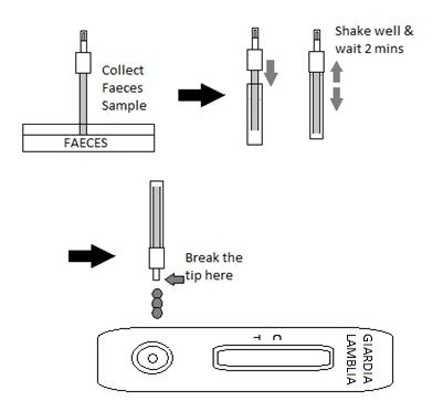 Giardia fecal diagram